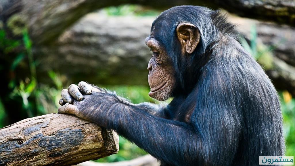 دهاء الشمبانزي ينتصر على قوة السلاحف